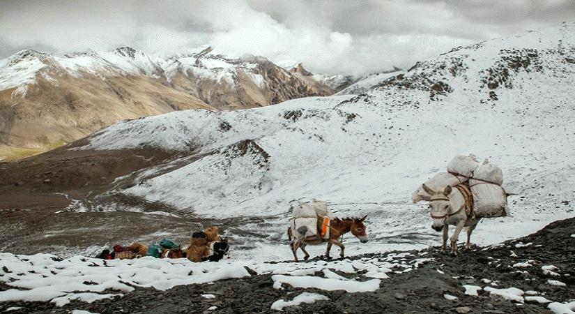 Mules Carrying goods at high altitude