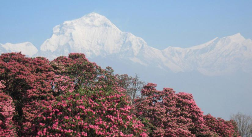 During Trek - blooming rhododendron - view of mountains